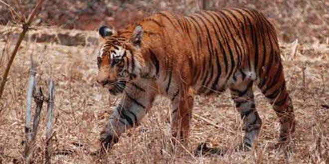 मुकंदरा हिल्स में दिखेंगी टाइगर की जीवंत अठखेलियां